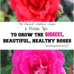 Chemist-Solutions-Six-Tips-for-Making-Your-Rose-Blooms-Big-Beautiful-and-Healthy-All-Season-Long-on-chemistrycachet.com_