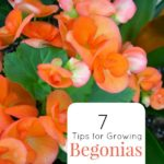 How-to-Grow-Begonias