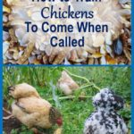 How-to-Train-Chickens-to-Come-When-Called-and-Why-You-Should-2-670x1024