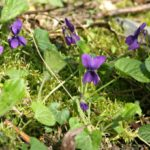 Using-Violets-for-Food-and-Medicine-Patch