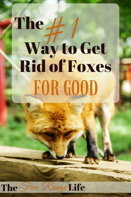 The Number 1 Way to Get Rid of Foxes for Good!